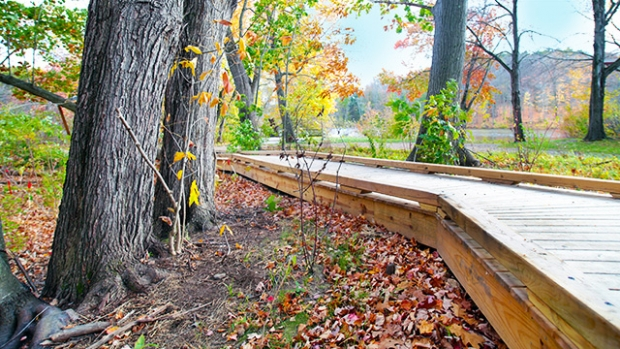This is a photograph of the Project River boardwalk, with bright fall foliage in the background.