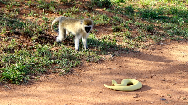 Snakes and Primate Origins