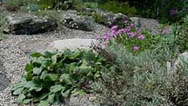 Photo of alpine plants in the sunny front of the Drue Matthews garden