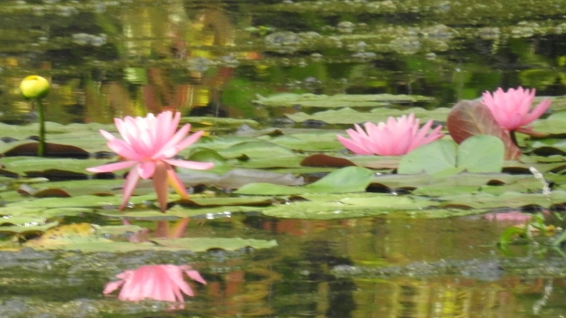 Photo of a lily pad