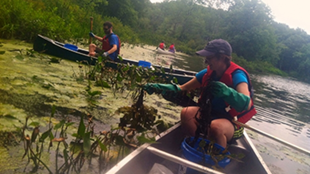 Photo of students removing water chestnut from the lake