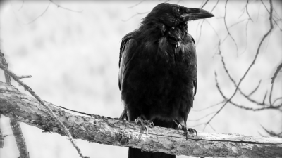 Raven sitting on a tree branch.