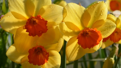 A wide range of daffodils will be featured at the bulb sale