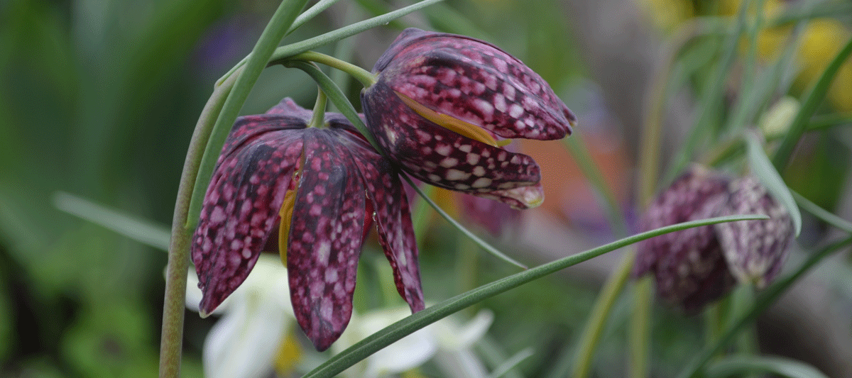 "A photo of the plant ""Fritillaria meleagris"""