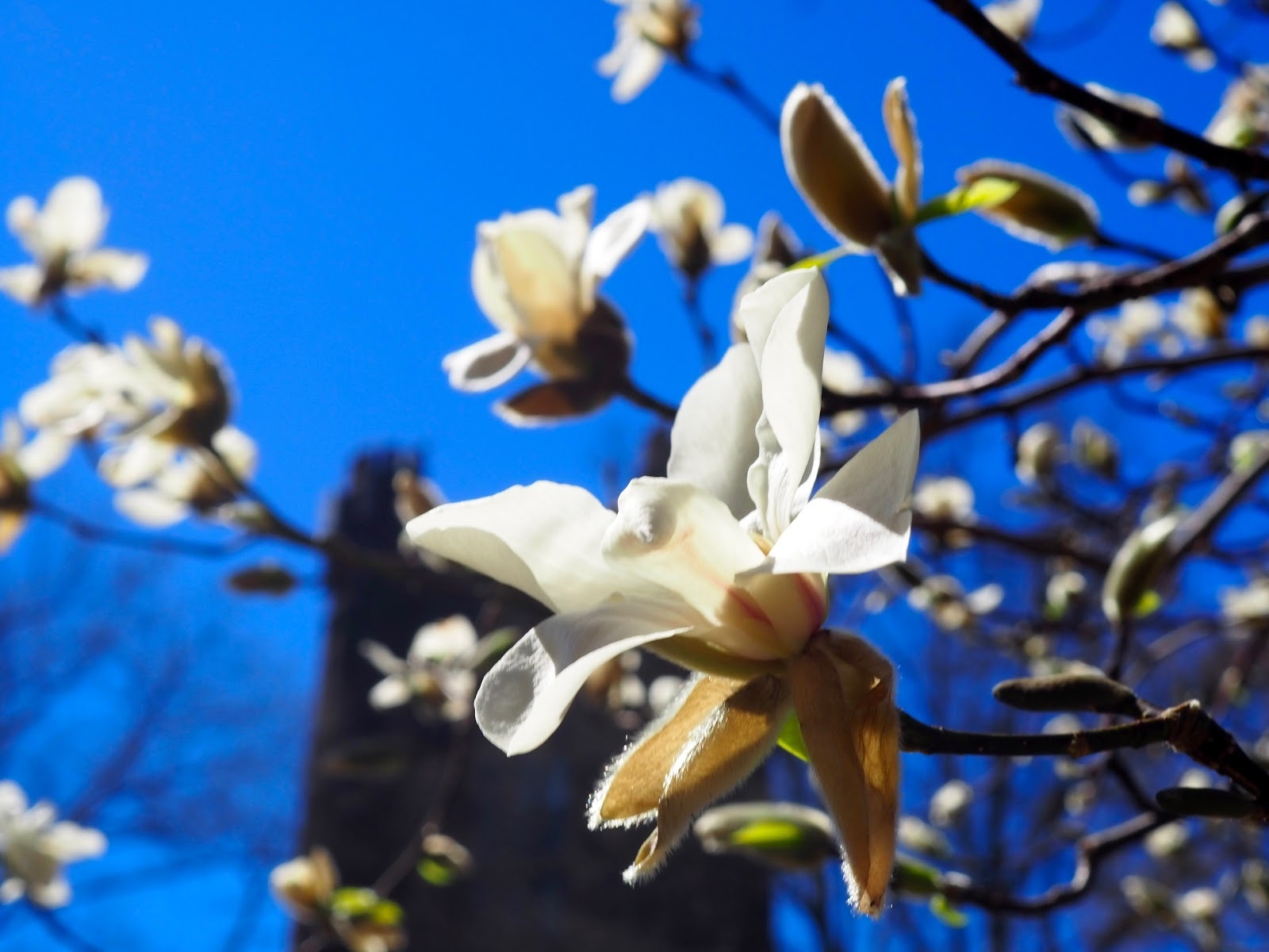 White flower just beginning to open in the spring at Mount Holyoke in South Hadley, MA.