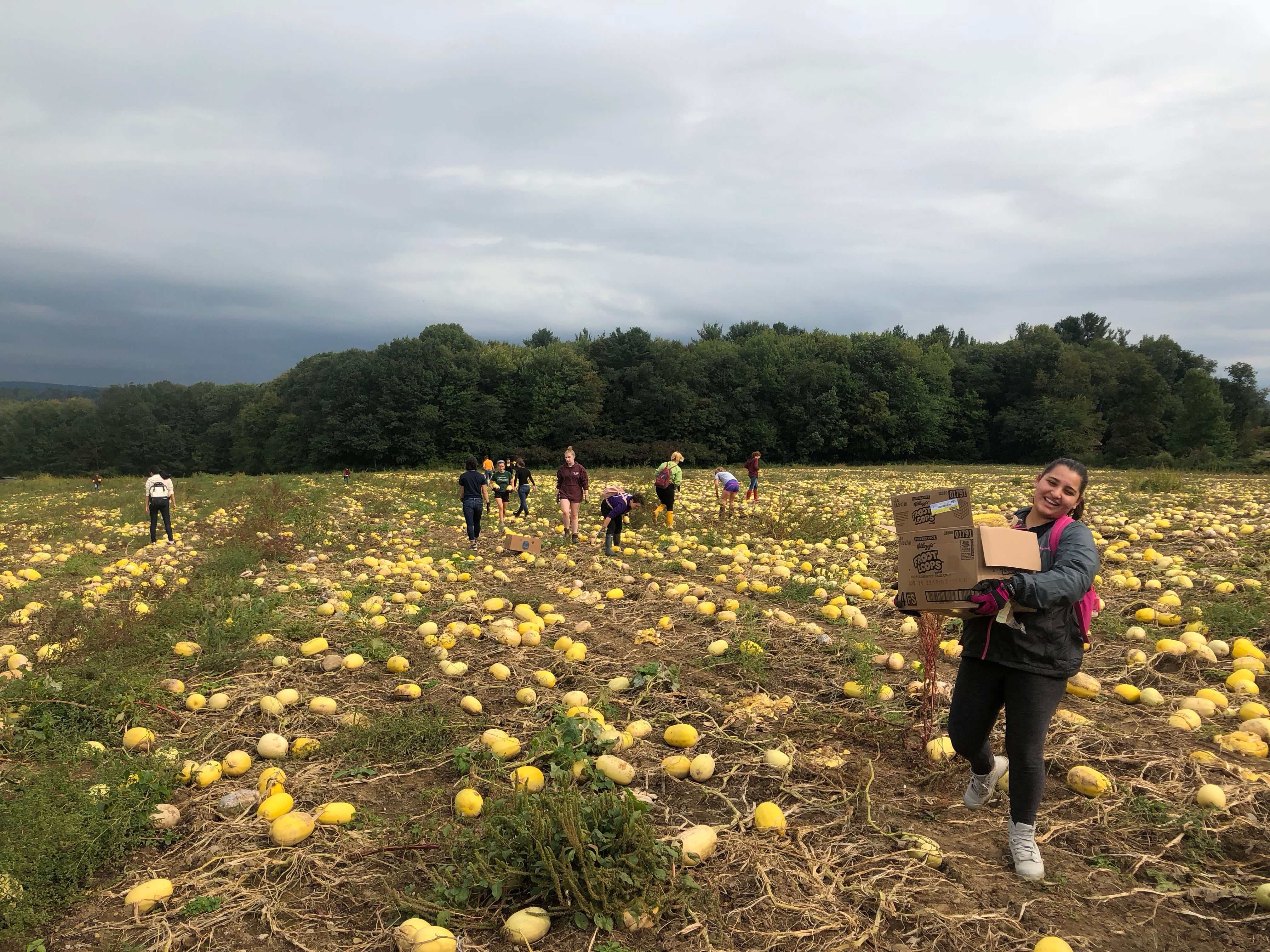 photo of a young, smiling woman carrying a box of vegetables in the foreground of a large field of spaghetti squash, oblong yellow vegetables, while a dozen others in the background also gather squash.