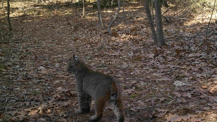 Photo of a bobcat spotted along Project Stream
