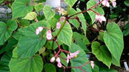 Photo of a begonia in the Virginia Craig '31 Rhododendron Garden